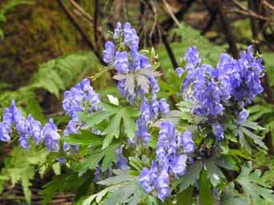 自生するトリカブトが薄紫の花を咲かせた