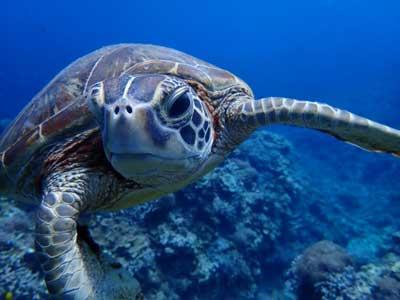 ウミガメの顔正面を水中で撮影